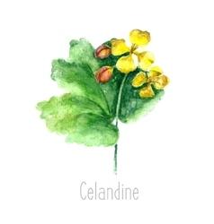 Watercolor celandine herb vector image vector image