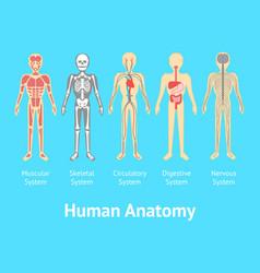 Cartoon color human anatomical system card poster vector
