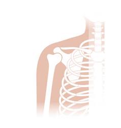 Human shoulder joint anatomy vector