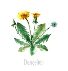 Watercolor dandelion herbs vector image