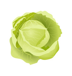 Fresh juicy cabbage on a white background vector