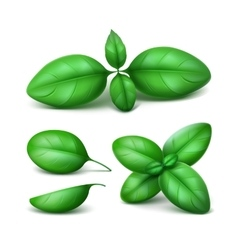 Set green fresh basil leaves close up vector