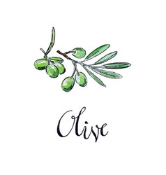 watercolor green olives vector image