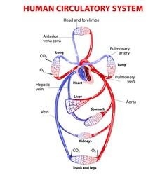cardiovascular circulatory system vector image vector image