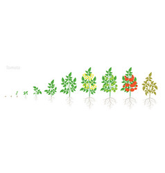 Growth stages tomato plant solanum vector