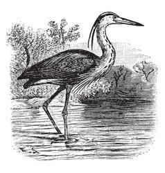 Great blue heron vintage vector