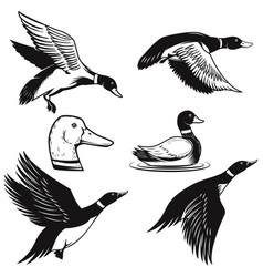 set wild duck duck in flight duck swimming vector image