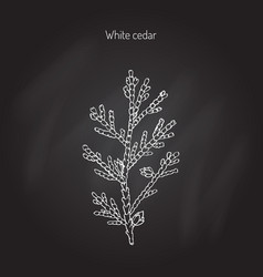 White cedar tree vector
