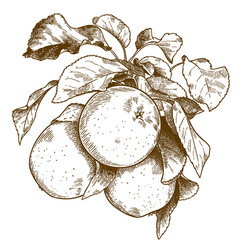 engraving three apples on branch vector image
