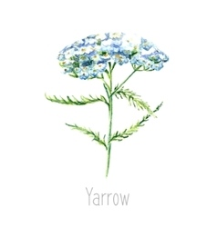 Watercolor yarrow herb vector image