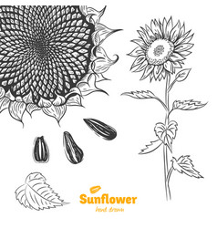 sunflower hand drawn vector image