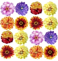 Watercolor zinnia pattern vector