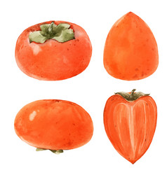 Watercolor persimmon vector