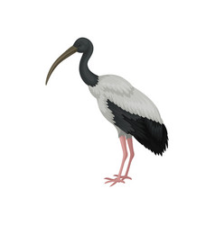 Australian white ibis large bird with black and vector