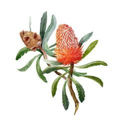 watercolor banksia flower composition vector image
