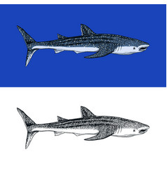 Whale or blue shark marine predator animal sea vector