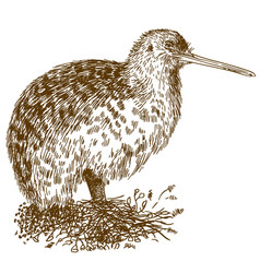 Engraving drawing of kiwi bird vector