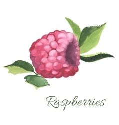Hand drawn of Raspberry vector