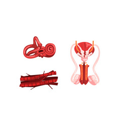 Inner ear male reproductive system muscle vector