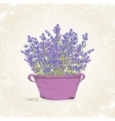 Lavender in the pot vector