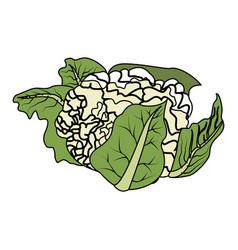Healthy vegetables design cauliflower icon vector