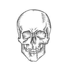 Anatomical skull vector