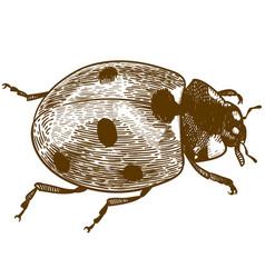 engraving ladybug or ladybird vector image