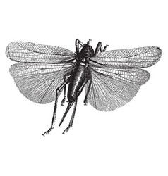 insect engraving vector image vector image