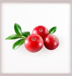 Red cranberries with leaves vector image