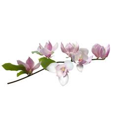 mangolia vector image