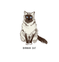 Hand drawn birman cat vector