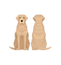 front and back view of labrador retriever large vector image