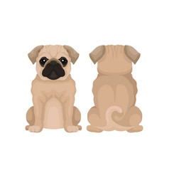Flat of funny pug puppy front vector