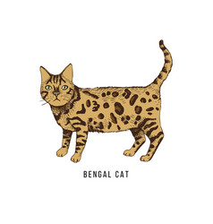 hand drawn bengal cat vector image