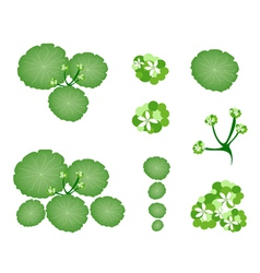 A Set of Asiatic Pennywort on White Background vector