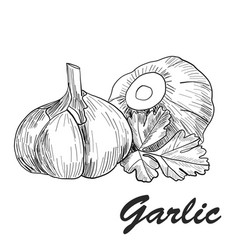 hand drawn garlic stylized black and white vector image