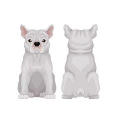 Cute sitting french bulldog front and back view vector