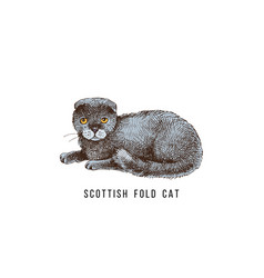 Hand drawn scottish fold cat vector