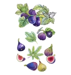 Watercolor set of figs on white background vector image vector image
