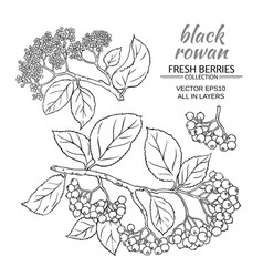Black rowan set vector