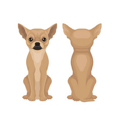 Flat design of sitting chihuahua puppy vector