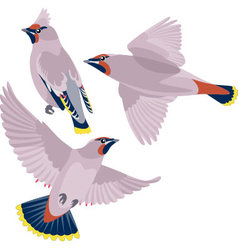 Waxwing on white background vector image
