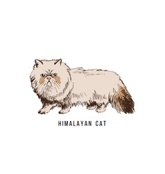 hand drawn himalayan cat vector image
