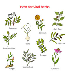 Set of antivitral herbs vector