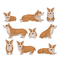 Set of welsh corgi dog in different poses puppy vector