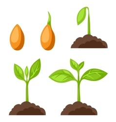 Set of with phases plant growth vector image