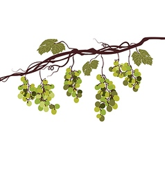 Vine with green grapes vector