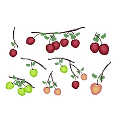 Set of Fresh Apple on White Background vector image