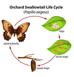 Orchard swallowtail life cycle vector