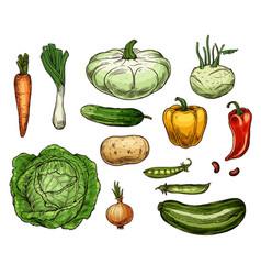 cabbage carrot onion potato pepper veggies vector image